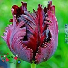 Тюльпан Black Parrot  (Блэк Перрот)