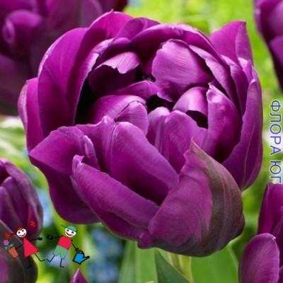 Тюльпан Negrita Double (Негрита Дабл)