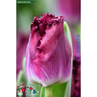 Тюльпан Purple Crystal (Перпл Кристал)