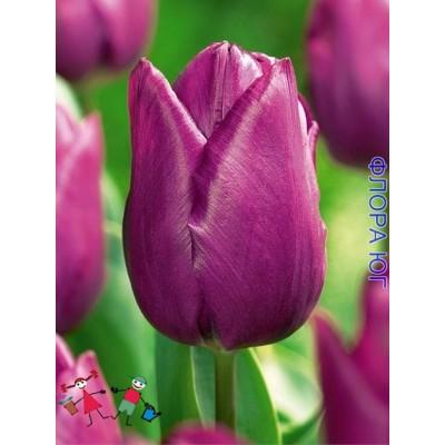 Тюльпан Purple Prince (Пёрпл Принц).