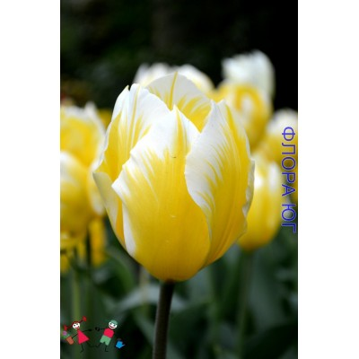 Тюльпан Sweetheart (Свитхарт)