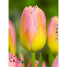 Тюльпан Tom Pouce (Том Пус )