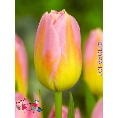 Тюльпан Tom Pouce (Том Паус )