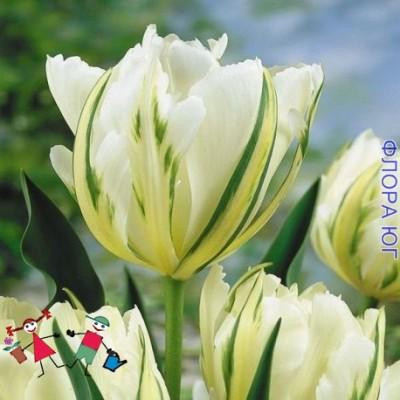 Тюльпан White Valley (Уайт Валлей)