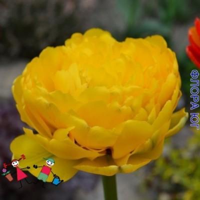 Тюльпан Yellow Pompenette (Йеллоу Помпонетт)