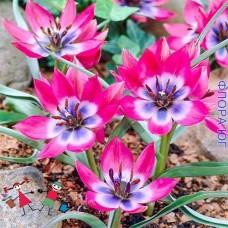 Тюльпан Little Beauty (Литл Бьюти)