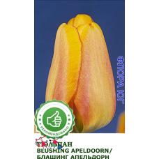 Тюльпан Blushing Apeldoorn (Блашинг Апельдорн)